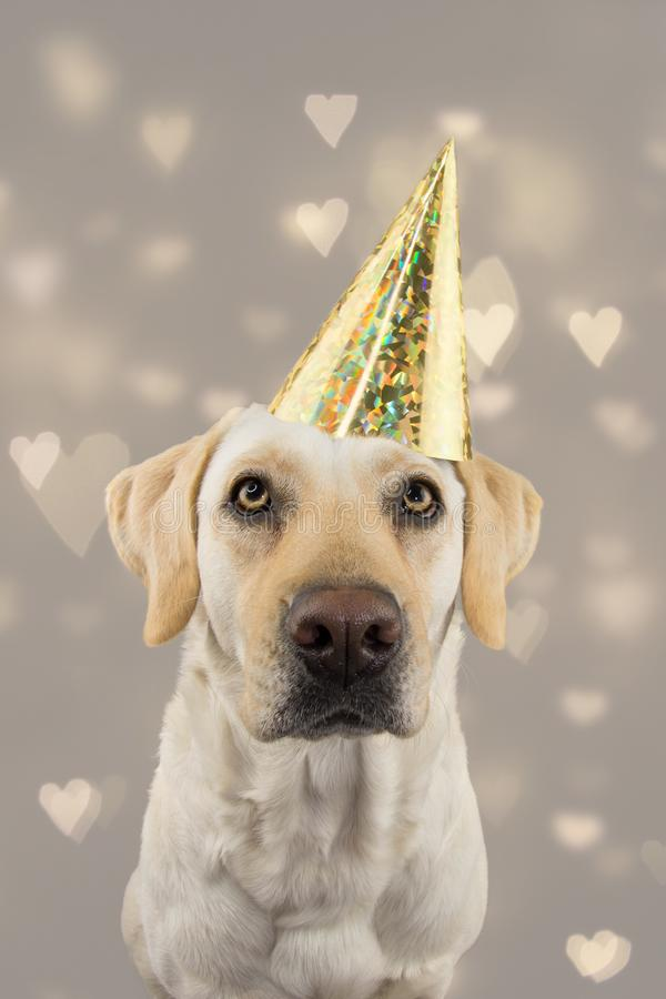DOG IN GOLDEN BIRTHDAY OR NEW YEAR HAT. LABRADOR RETRIEVER CELEBRATING A PARTY. ISOLATED STUDIO SHOT, AGAINST GRAY COLORFUL. BACKGROUND WITH DEFOCUSED HEARTS royalty free stock images