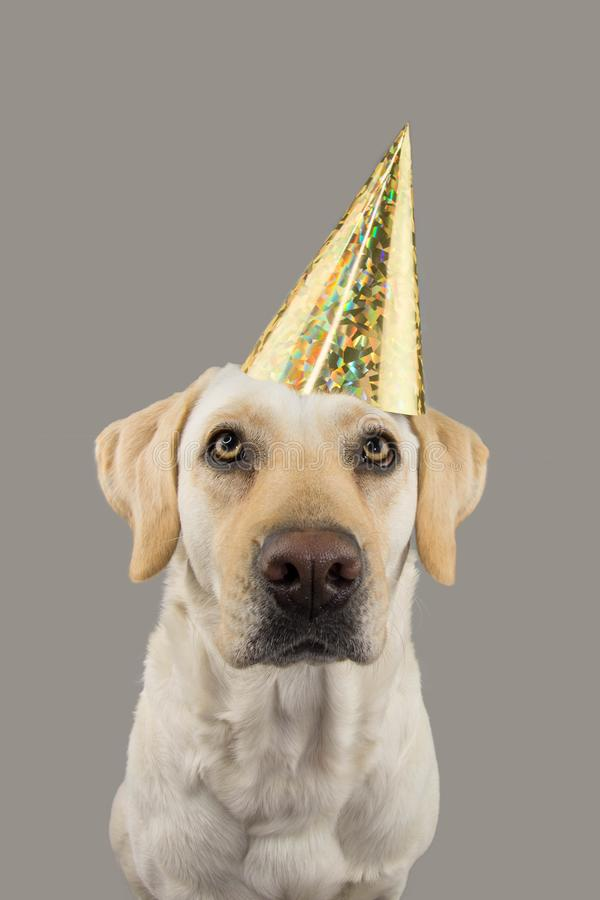 DOG IN GOLDEN BIRTHDAY OR NEW YEAR HAT. LABRADOR RETRIEVER CELEBRATING A PARTY. ISOLATED STUDIO SHOT, AGAINST GRAY COLORFUL. BACKGROUND royalty free stock image