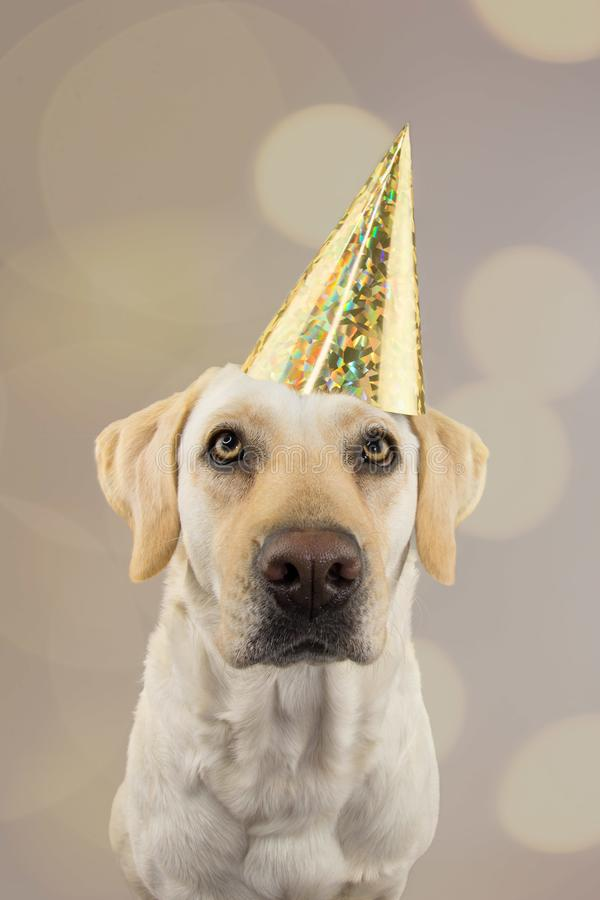 DOG IN GOLDEN BIRTHDAY OR NEW YEAR HAT.  LABRADOR RETRIEVER CELEBRATING A PARTY. ISOLATED STUDIO SHOT, AGAINST GRAY COLORFUL. BACKGROUND WITH DEFOCUSED OVERLAYS stock image