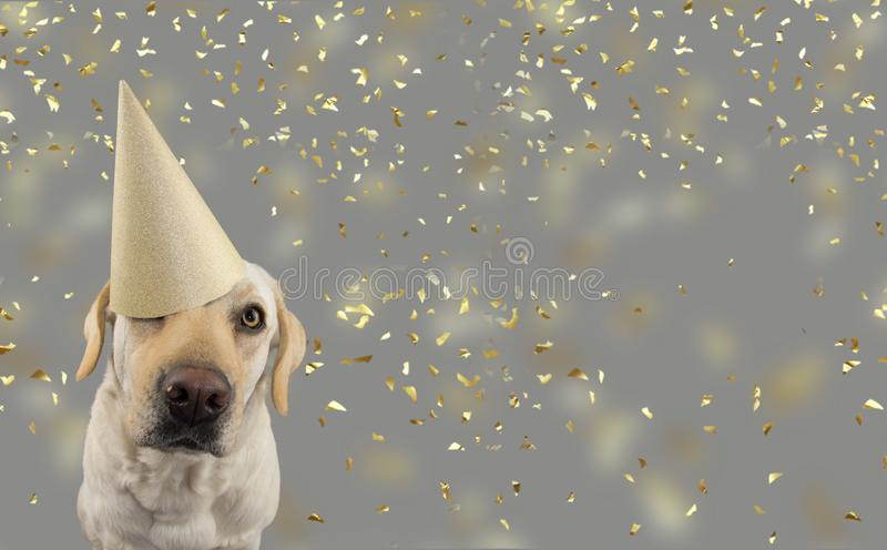 DOG IN GOLDEN BIRTHDAY OR NEW YEAR HAT.  LABRADOR RETRIEVER CELEBRATING A PARTY. ISOLATED STUDIO SHOT, AGAINST GRAY COLORFUL. BACKGROUND WITH FALLING CONFETTI royalty free stock image