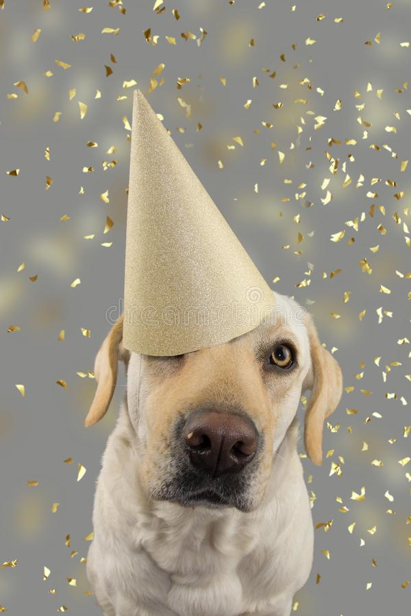 DOG IN GOLDEN BIRTHDAY OR NEW YEAR HAT. LABRADOR RETRIEVER CELEBRATING A PARTY. ISOLATED STUDIO SHOT, AGAINST GRAY COLORFUL. BACKGROUND WITH FALLING CONFETTI royalty free stock photo