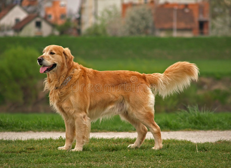 Dog / Golden Retriever stock photography