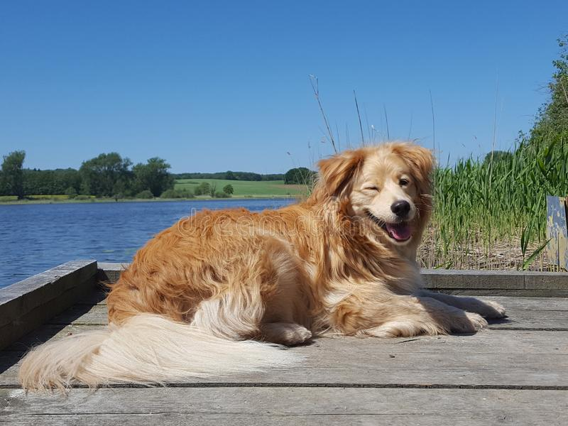 Dog - golden retriever mix lies on bridge at a lake and winks with eye stock photography