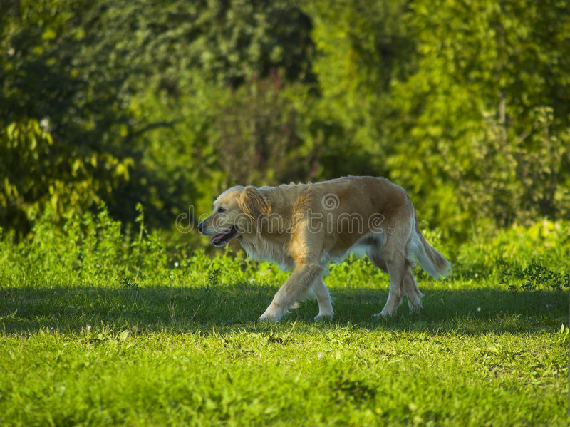 Dog / Golden Retriever Walking In The Park stock images