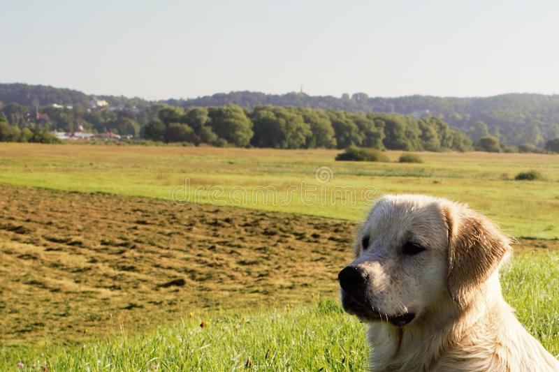Dog Golden Retriever is wet and observed royalty free stock photos