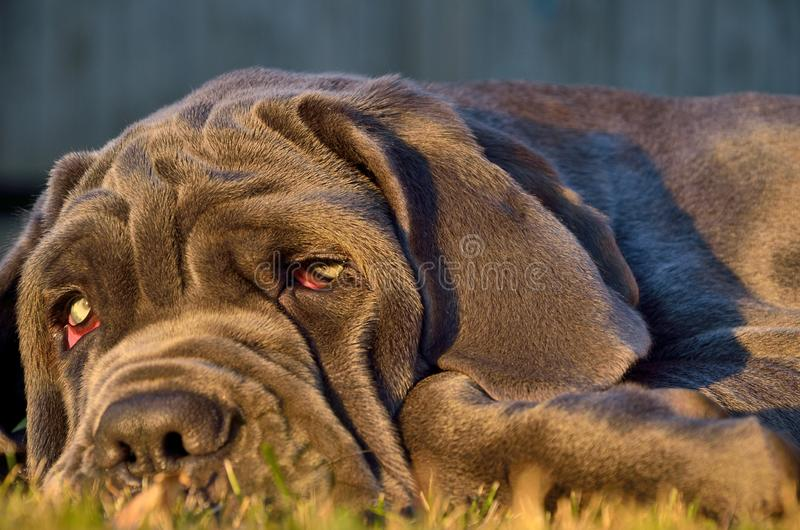 A dog with good eyes lies on the green grass royalty free stock image