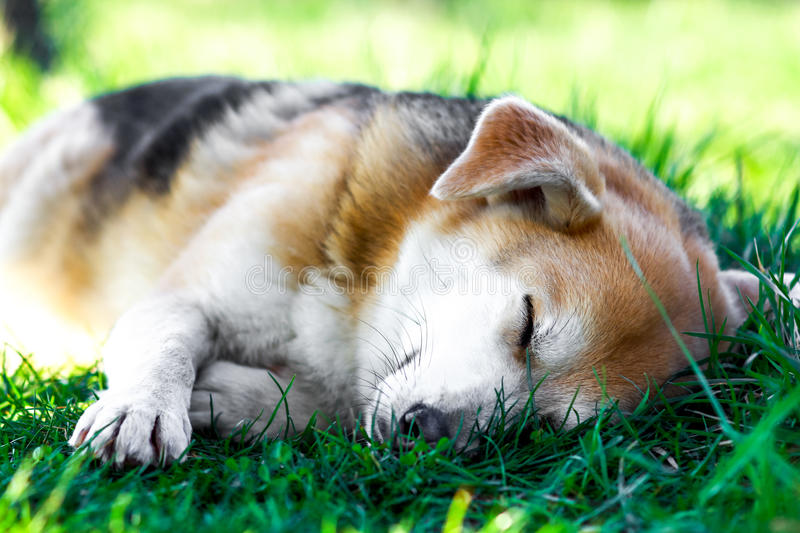 Dog in the grass. Dog sleeping in the springtime grass royalty free stock photography