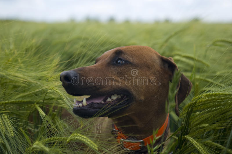 Dog in green barley field. Rhodesian ridgeback in the middle of a green and fresh grain field. Only the dogs head is looking cute out of the field. Image taken royalty free stock photo