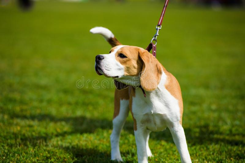 Dog on green grass stock images