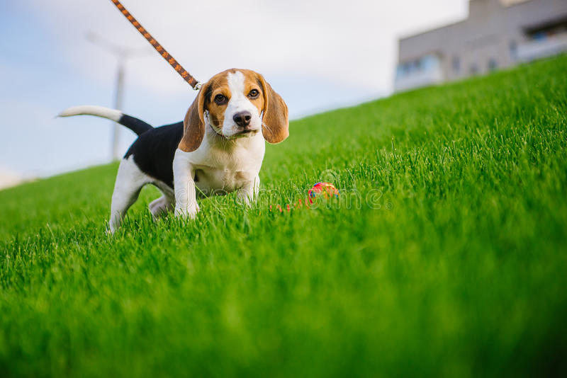 Dog on green meadow. Beagle puppy walking royalty free stock image