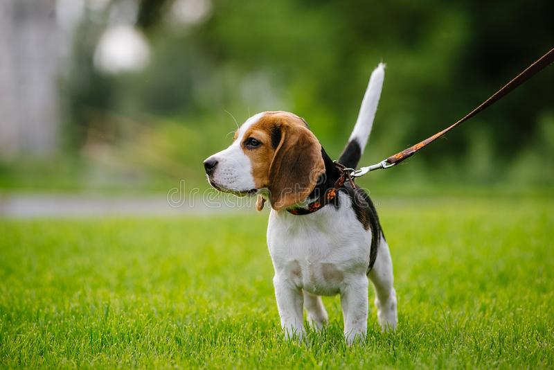 Dog on green meadow. Beagle puppy walking stock image