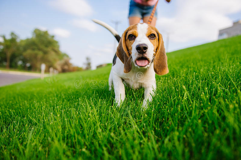Dog on green meadow. Beagle puppy walking royalty free stock photo