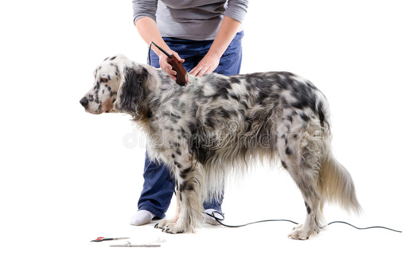 Download Dog grooming stock image. Image of canine, english, care - 13422927