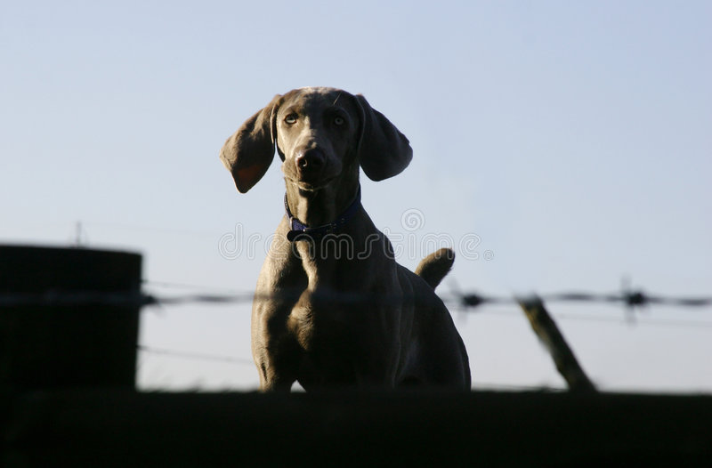 Download Dog On Guard Royalty Free Stock Photo - Image: 82105
