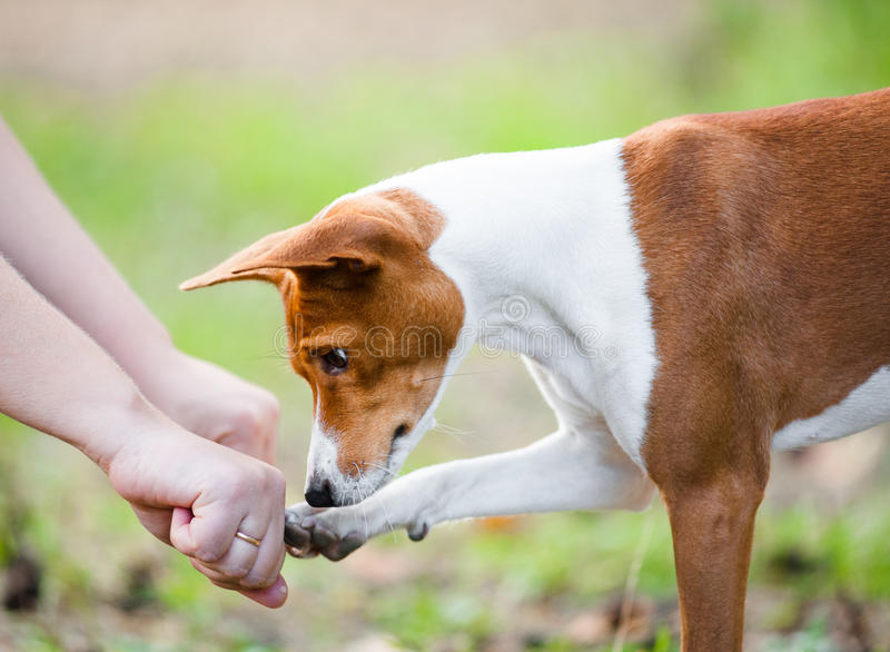 Dog guesses which hand of owner hides treats. Concept: young basenji dog guesses which hand of owner hides treats royalty free stock photo