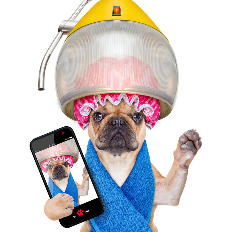Dog at the hairdressers selfie. French bulldog dog under hood dryer , drying hair ,taking a selfie and sharing the new hairstyle , isolated on white background stock photo