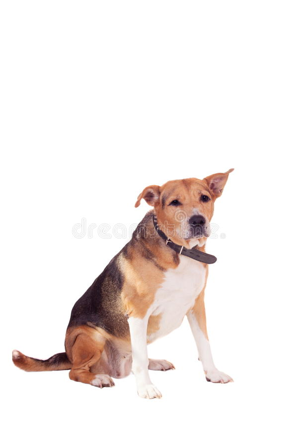 Dog, half russian hound and Pit bull on white stock photo