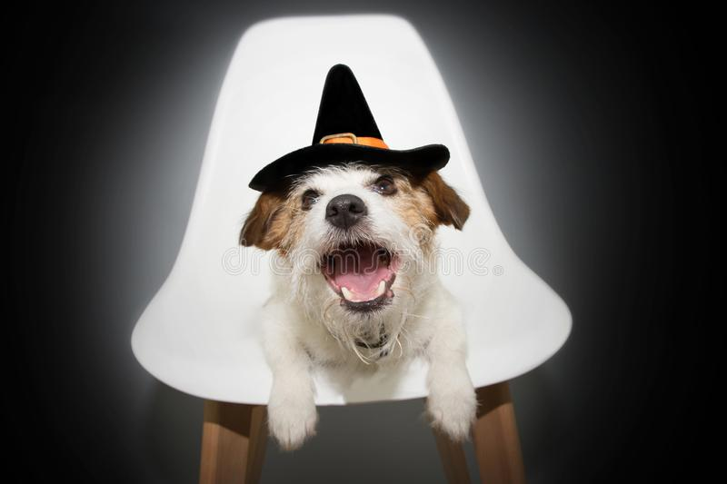 Dog halloween or carnival costume. Funny jack russell sitting on a nordic chair dressed as a wizard or witch stock photo