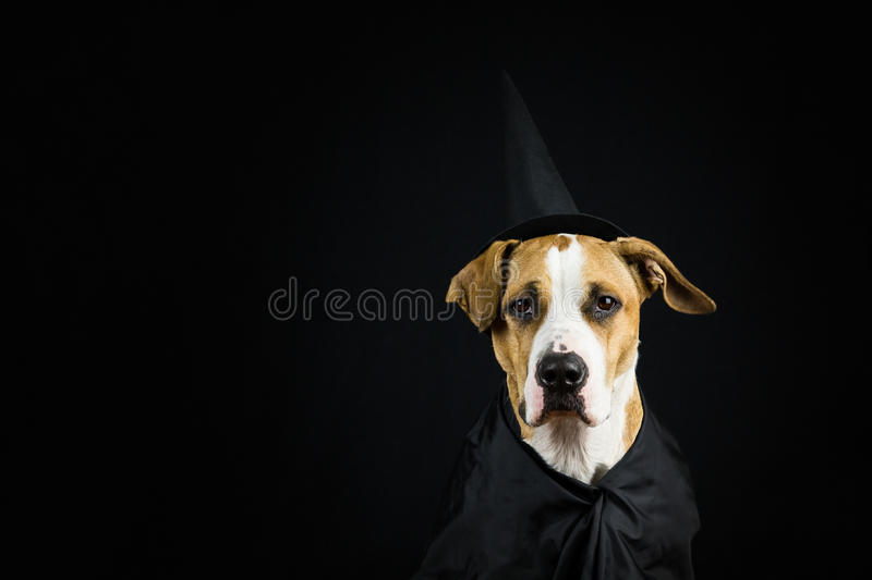 Dog in halloween costume royalty free stock images