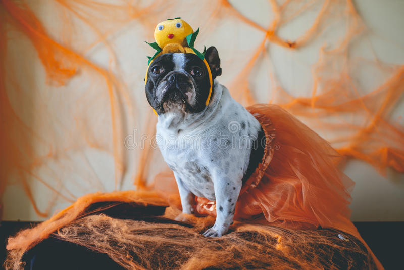 Dog with halloween costume. Portrait of dog with diadem of pumpkin for Halloween stock images
