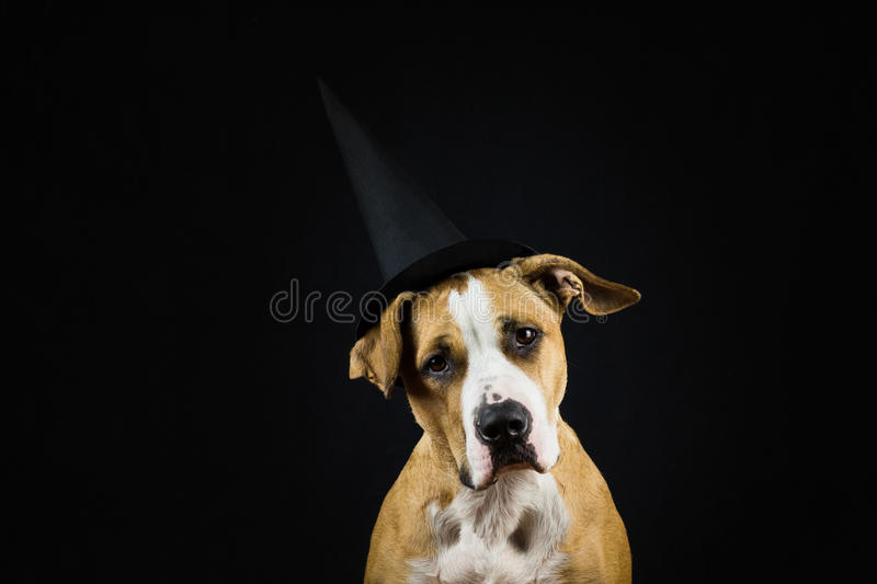Dog in halloween hat of witch royalty free stock photos