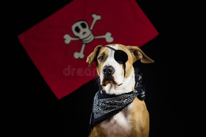Dog in halloween pirate costume stock image
