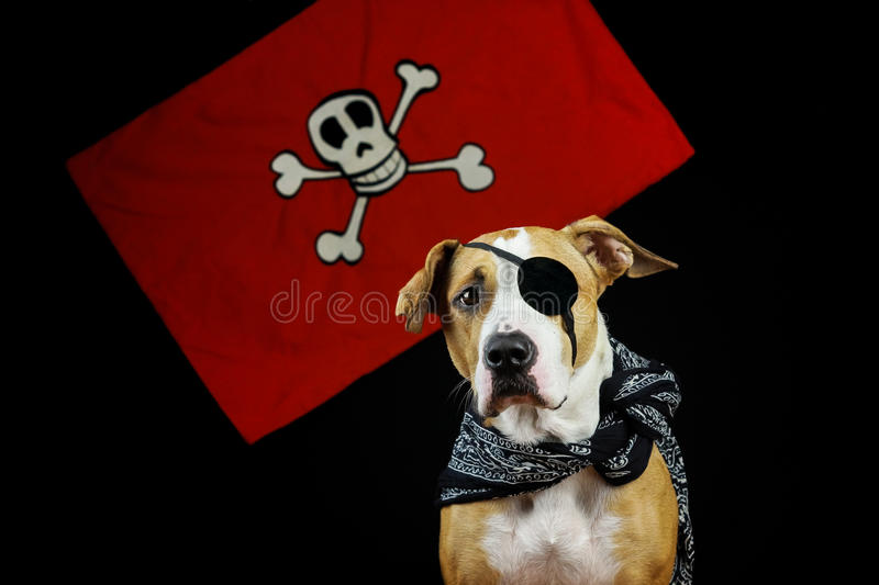 Dog in halloween pirate costume royalty free stock photos
