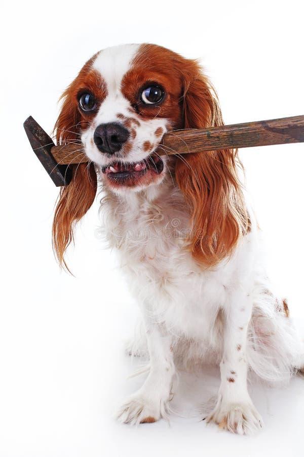 Most Inspiring Cavalier Canine Adorable Dog - dog-hammer-cavalier-king-charles-spaniel-dog-photo-beautiful-cute-cavalier-puppy-dog-isolated-white-studio-background-106042592  Gallery_201417  .jpg