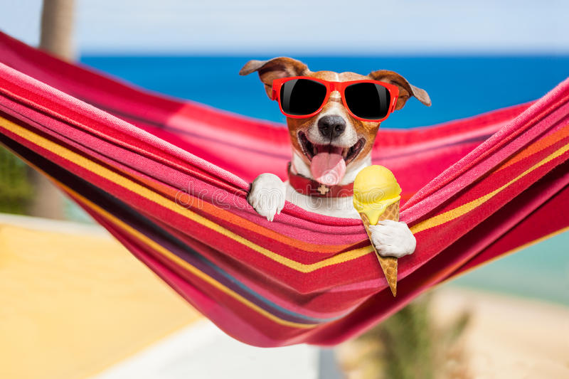 Dog on hammock in summer with ice cream. Jack russell dog relaxing on a fancy red hammock or lounger with cold vanilla ice cream , on summer vacation holidays at royalty free stock image