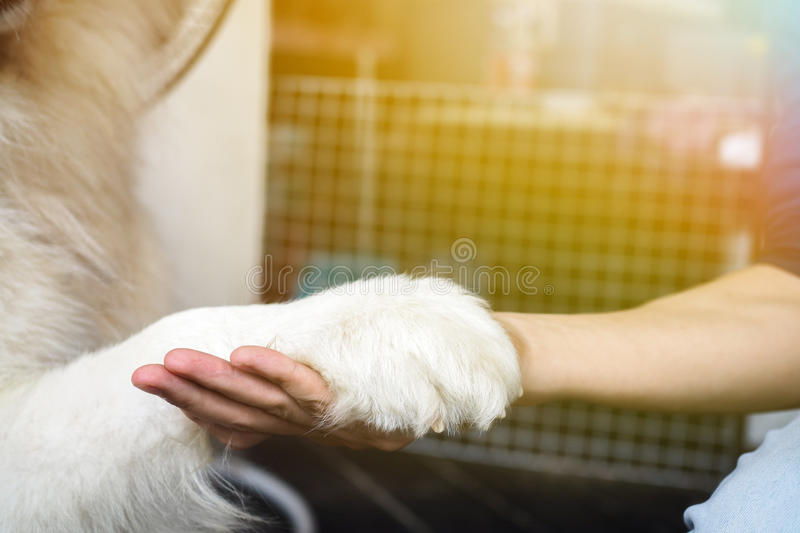 Dog hand shaking with human - friendship and pet training concept. Dog hand shaking with human - friendship and pet training concept stock image