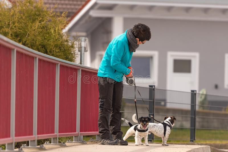 Dog handler walks with her little dogs on a road. Two obedient Jack Russell Terrier doggy. Dog handler walks with her little dogs on a road. Two cute obedient royalty free stock photo