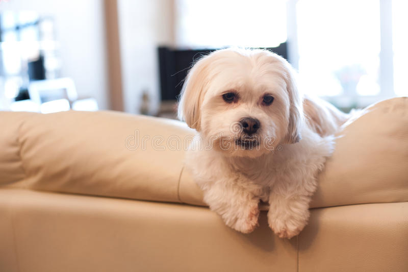Dog hanging out at home. Little white dog hangs over side of white couch at home royalty free stock photography