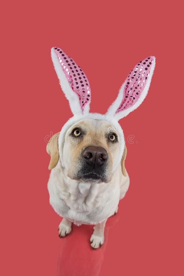 DOG HAPPY EASTER. LABRADOR PUPPY DRESSED WITH A RABBIT DIADEM. ISOLATED STUDIO SHOT AGAINST PASTEL CORAL BACKGROUND. DOG HAPPY EASTER. LABRADOR PUPPY DRESSED stock photos