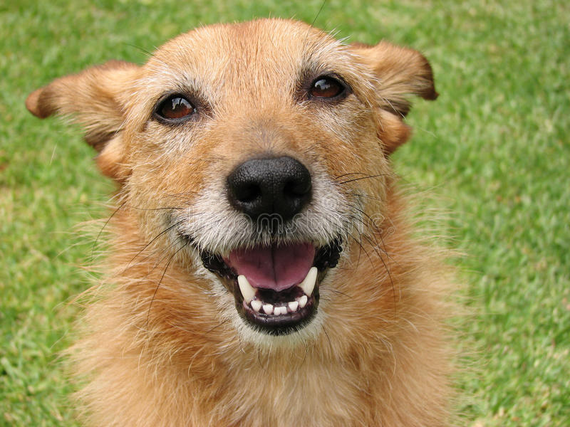 Dog with a happy smile stock photo