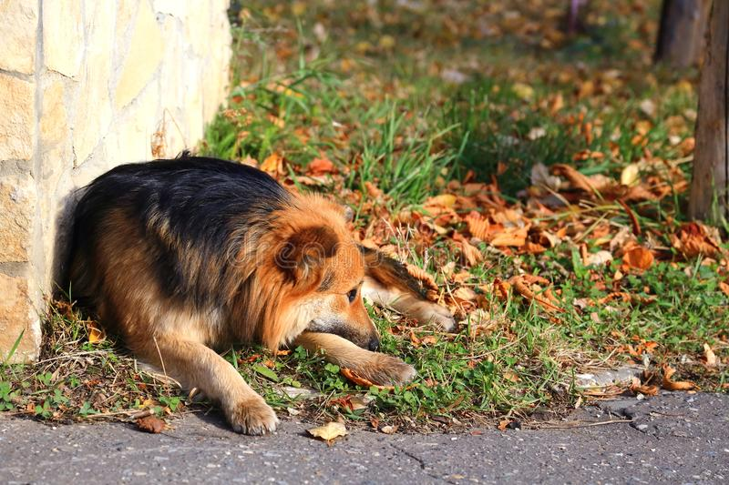 The dog has lost. A red sad stray dog lies on the grass beside a royalty free stock photo