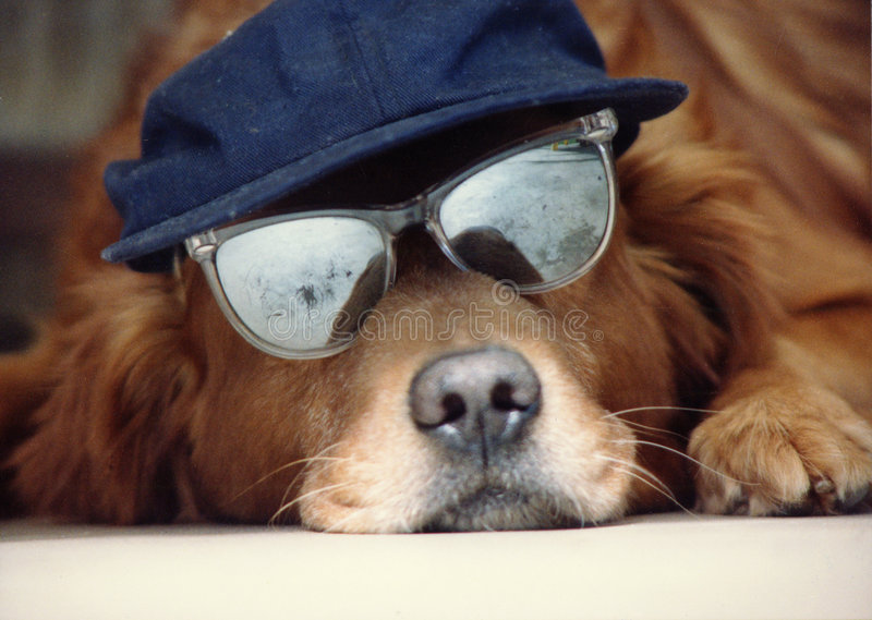 Dog in a Hat. Golden Retreiver with a hat and sunglasses on