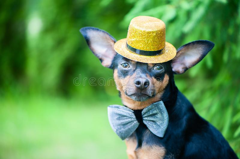 Dog in a hat and a bow tie, an image of a magician, a circus art. Ist, an artist. Natural green background, space for text stock photo