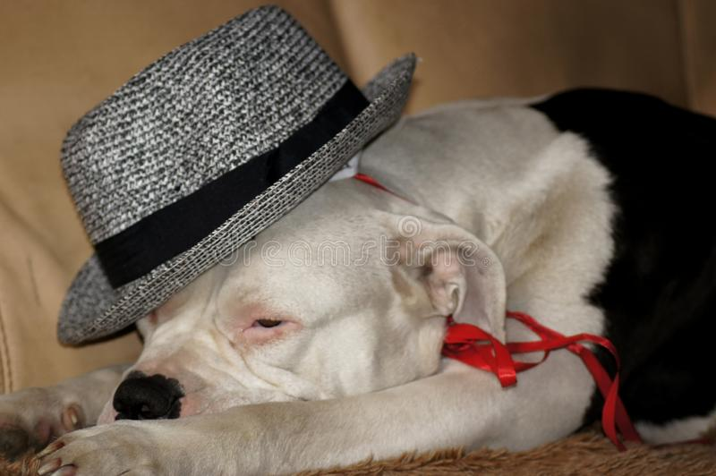 Dog with hat on the sofa royalty free stock image