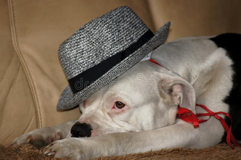 Dog with hat on the sofa stock images