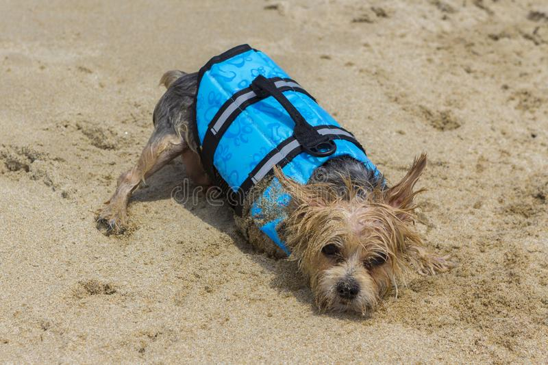 Little dog tire after a day in water, with a life jacket royalty free stock photo