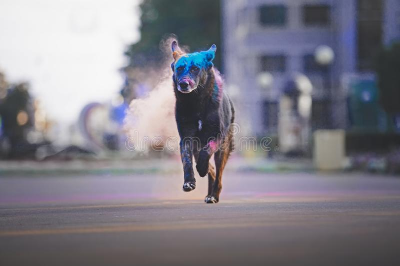 A dog having fun with paints of holi royalty free stock photos