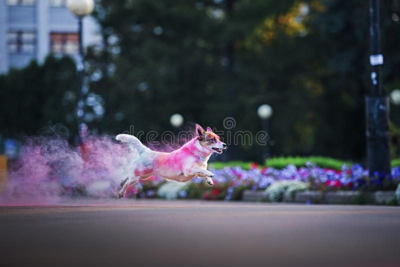 A dog having fun with paints of holi. The clown dog is having fun and running around with paints of holi stock images
