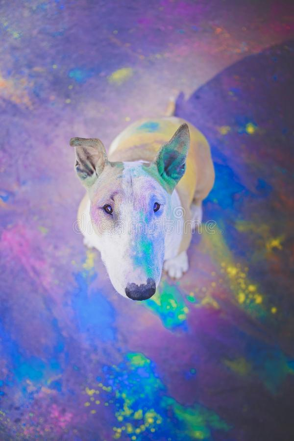 A dog having fun with paints of holi. The clown dog is having fun and running around with paints of holi royalty free stock photos