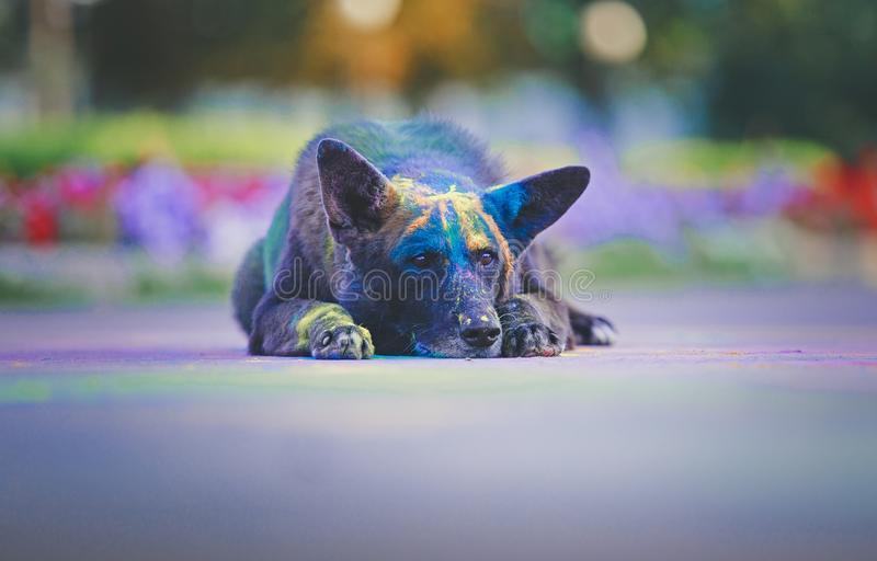 A dog having fun with paints of holi. The clown dog is having fun and running around with paints of holi royalty free stock image