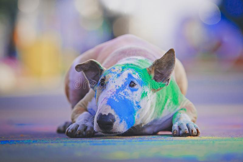 A dog having fun with paints of holi stock photo
