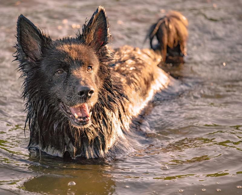 Dog having fun in a river stock images
