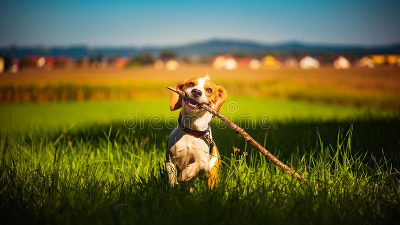 Dog having fun running towards camera with stick in mouth fetching towards camera in summer day stock photo
