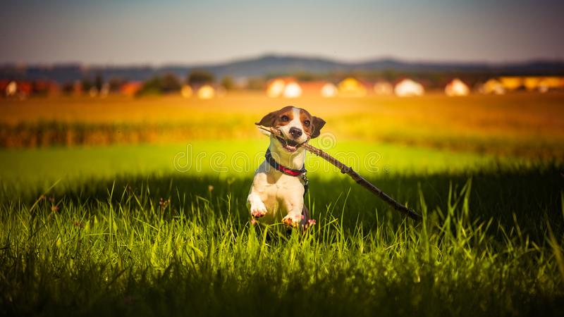 Dog having fun running towards camera with stick in mouth fetching towards camera in summer day royalty free stock image