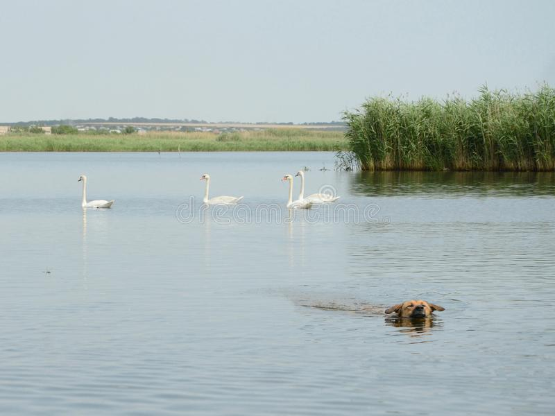 A dog having a swim in the river near swans. Mute swans are looking with caution at a dog that enjoys swimming in the river on a hot day stock photography