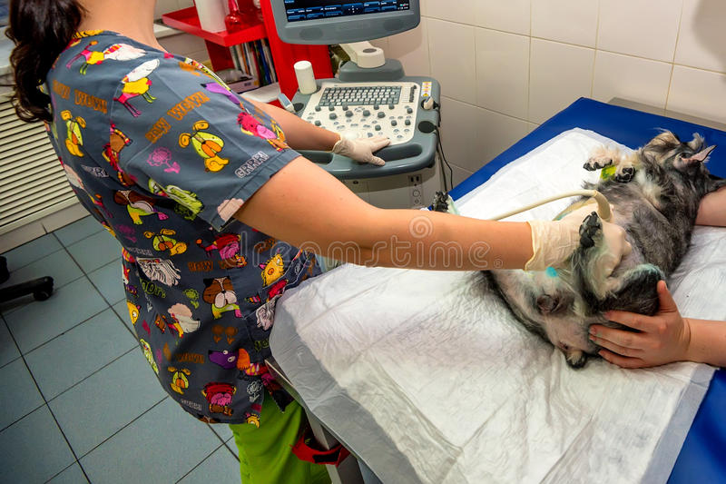 Dog having ultrasound scan in vet clinic. Veterinary physician doing medical ultrasound scan of dog examining its condition stock photo